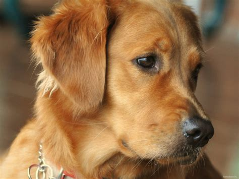 golden retriever terrier golden retriever puppy pictures breeds picture