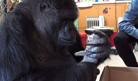 Koko Vio koko the gorilla initiates friendship with kittens