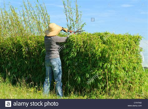 Taille Bambou Fargesia trimming of a hedge of bamboo fargesia by a gardener