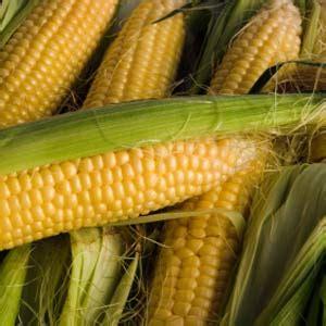 Bibit Jagung Sweet Boy teknik menanam jagung yang baik bimbingan