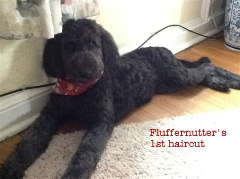 black goldendoodle haircuts goldendoodle puppies standard poodles for sale in pa