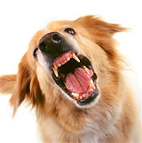 golden retriever growling barking stock photo search kimballstock