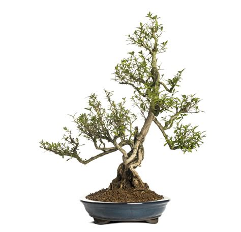 choosing growing bonsai beginners guide to the best indoor bonsai trees grow a bonsai tree