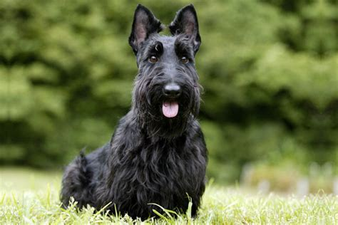 scottie dogs for sale scottish terrier puppies for sale from reputable breeders