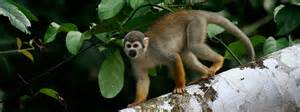 Kancing Kayu Monkey Bu 07 specialization in behavioral biology biology
