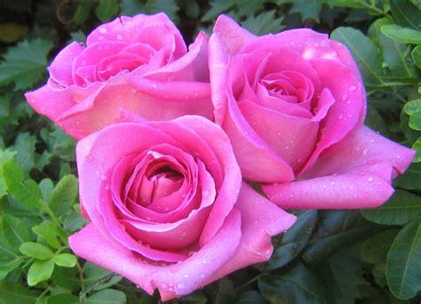 gambar gambar info makna warna bunga mawar merah muda pink
