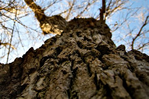Oak Tree Wood Free Stock Photo Domain Pictures