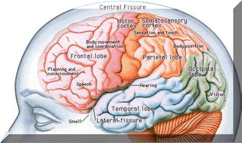 What Are The Four Sections Of The Brain by General Psychology Sp12 Tuesday Thursday The Collaboratory