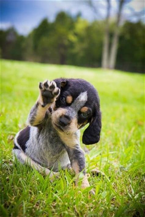 free blue tick hound puppies 25 best ideas about bluetick coonhound on