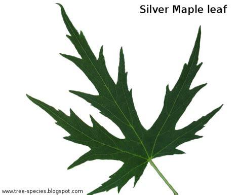 maple tree leaf shape the world 180 s tree species silver maple leaf