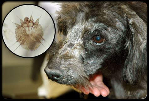 skin disorders in dogs skin infection symptoms and inexpensive treatment