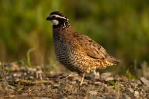 Images Of Plant Diseases - quail conservationists unite at missouri bobwhite quail