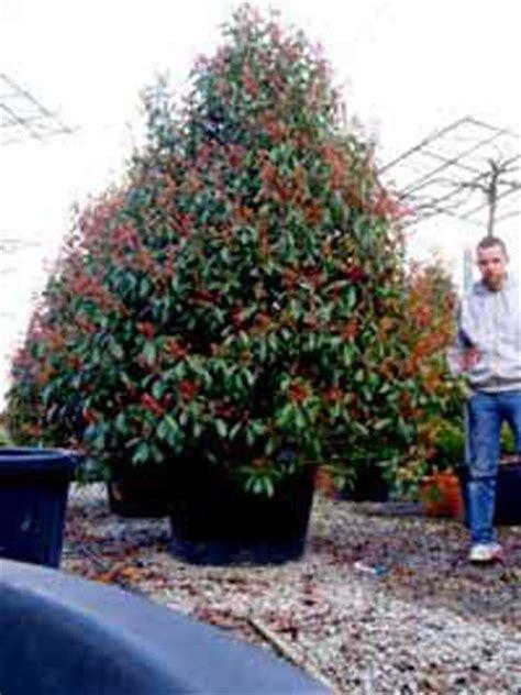Photinia Fraseri Robin Hochstamm 464 by Photinia Fraseri Robin Pyramide Glanzmispel