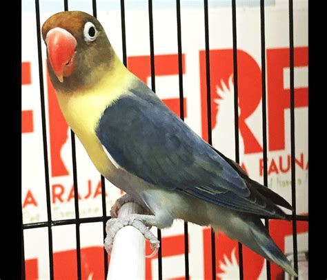 Harga Clear Pied Vio gambar jenis mutasi warna lovebird parblue beserta harga