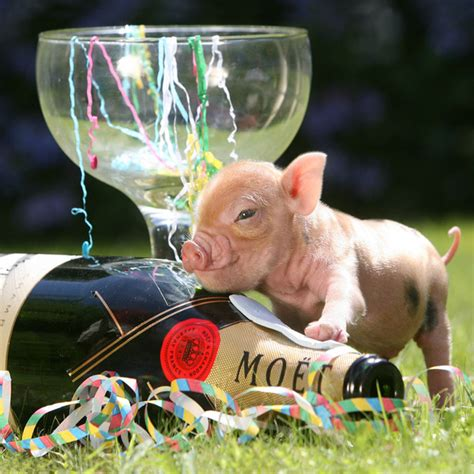new year animal pig des cochons nains b 233 b 233 s vraiment trop mignons