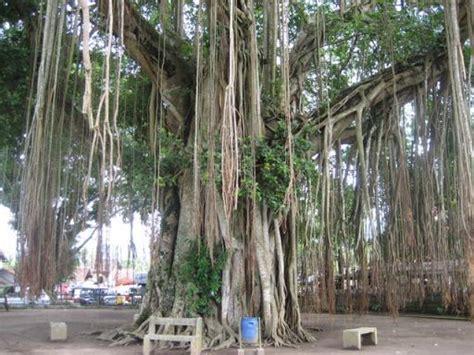 waringinboom  mendut  jaar oud indonesie