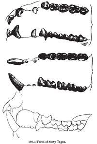 common brushtail possum wikipedia