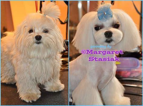 asian fusion maltese haircut repinned maltese korean hairstyle asian fusion