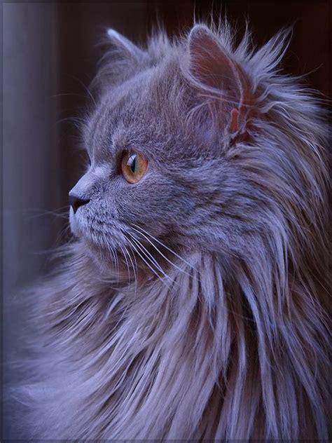 gray persian cat kittens cats pretty