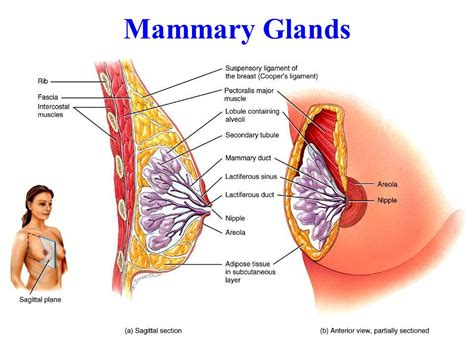 How To Detox Mammary Glands Before Conception by Reproductive Systems Chapter Ppt