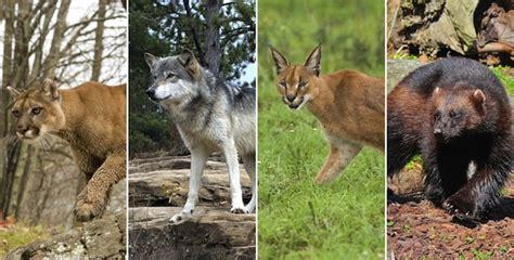 imagenes de zorros reales depredadores del zorro zorro informaci 243 n y caracter 237 sticas