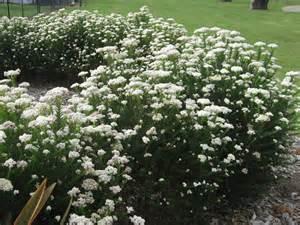 Flower Plants For Garden Ozothamnus Diosmifolius Radiance Rice Flower Gardening With Angus