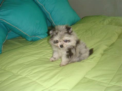 blue merle pomeranians for sale pin blue merle pomeranian for sale in toronto ontario classifieds m5x on