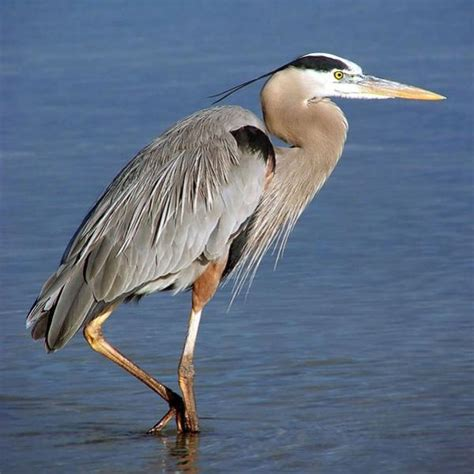 State Birds That Should Be The Lone Girl In A Crowd Blue Heron