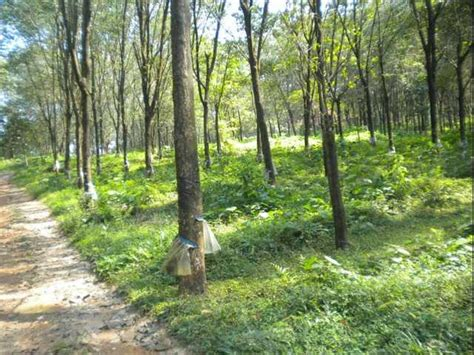 rubber st plantation sungai klau raub for sale from pahang cameron highlands