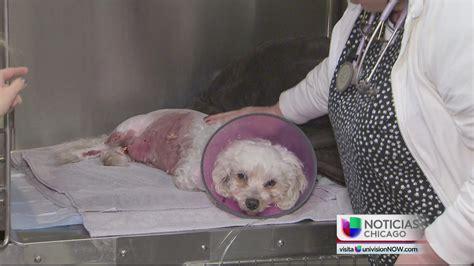 perro de coje a su duea perrita defiende a su due 241 a del ataque de dos perros pit