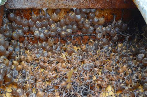Madu Asli Plus Sarang 150 Gram Madu Murni madu kelulut hutan palas khasiat madu kelulut