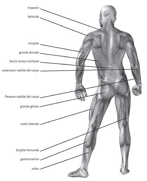 tavole anatomiche muscoli atlante di anatomia posizioni statiche materiali per