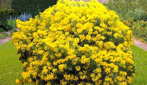 shrubs with yellow flowers coronilla valentina glauca 10 seeds mediterranean