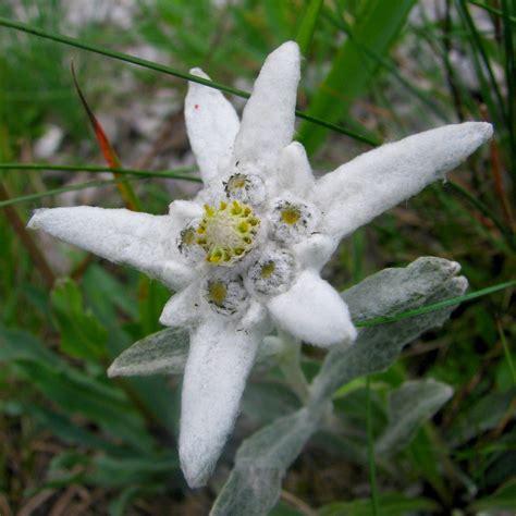 la stella alpina fiore erika mattia ed io la leggenda della stella alpina