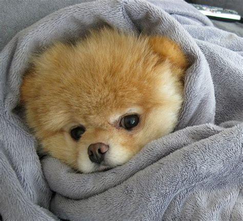 boo pomeranian stuffed animal n y fair gadgets it s a of plush