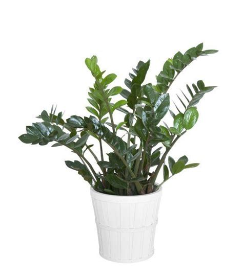 5 hardy hard to kill houseplants for apartments with low pinterest