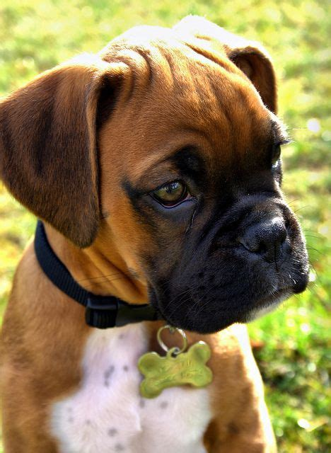 baby boxer 25 best ideas about boxer puppies on baby boxer puppies boxer and