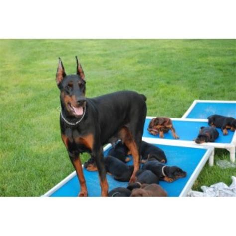 doberman puppies ohio doberman pinscher breeders in the usa and canada freedoglistings page 1