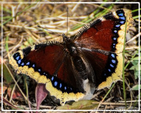 2012 Sb Butterfly Jumbo Tunik prairie nature mourning cloak butterfly maroon and blue shimmer