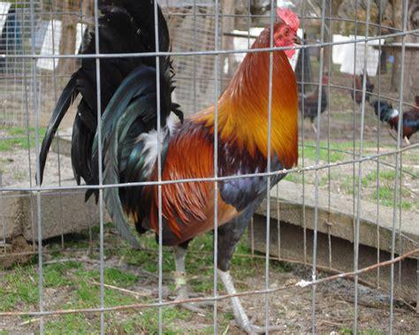 class gallos kelso puros potreronuevo images galerias gallos distintas gallinas mclean gallinas mclean apexwallpapers com