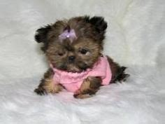 how much is a teacup shih tzu 1000 images about imperial shih tzu s on shih tzu shih tzu puppy and