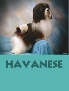 honor havanese forever poodles honor havanese akc havanese poodle puppies for sale in florida