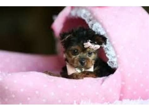 newborn puppies for adoption teacup yorkie newborn puppies www pixshark images galleries with a bite