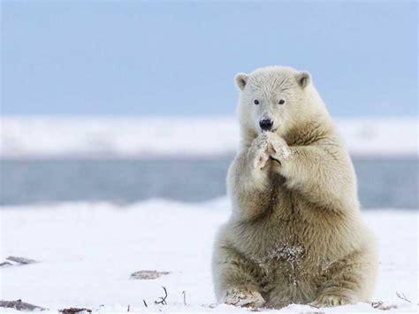 animals  greenland white polar bear heating  cold feet desktop wallpaper full screen