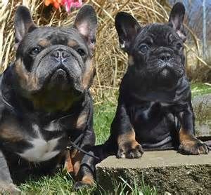 tri color bulldog puppies for sale blue tri bulldog puppies for sale sired by
