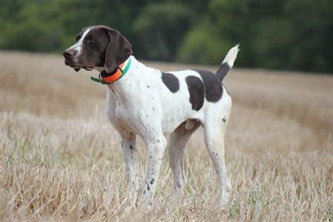 setter dog short hair winkelmans gun dogs german shorthaired pointer
