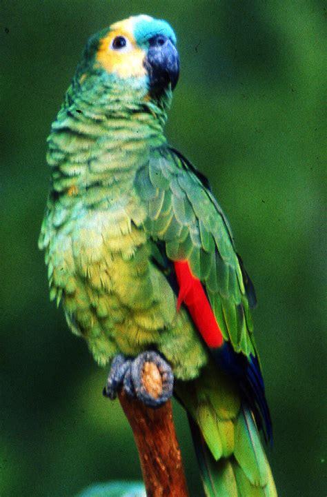 imagenes de loritos verdes el mundo de los loros taringa