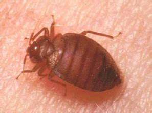 pesticide exempt bed bug spray samples offered  northern california residents  bed bugs