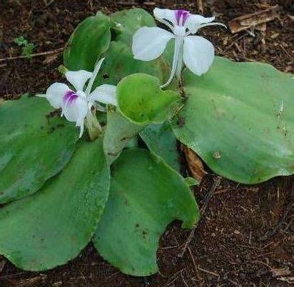 tanaman kencur tanaman obat pinterest