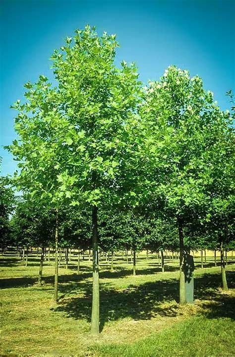 popular trees hybrid poplar the tree center